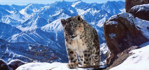 Lleopard de les neus, Planet Earth II